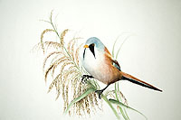 Deanee Clarke Painting - Bearded Tit