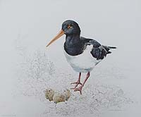 Ronald Bevan - Norfolk Oyster Catcher Curlew