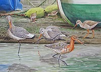 Black tailed Godwits	Ernest Leahy