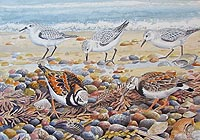 Sanderling and Turnstone