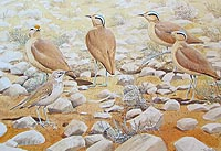Cream coloured Courers and Hoopoe lark